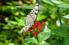 Beautiful Paper Kite Butterfly Feeding On Nectar From The Red Flower. Background Full Of Green Leaves.