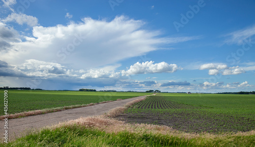 Soybean fields with young plants and a dirt road under dramatic clouds in southwestern Minnesota #436127090