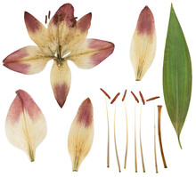 Pressed And Dried Yellow Flower Lily Isolated On White Background. For Use In Scrapbooking, Floristry Or Herbarium