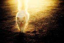 Closeup Of A White Grumpy Cat Walking In A Field Under The Sunlight