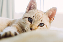 Closeup Of An Adorable Domestic White Cat With Blue Eyes Lying On A Bed With A Blurry Backgro