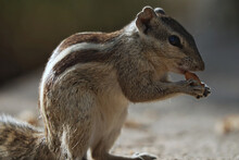 Closeup Of An Adorable Chipmunk Standing On The Stone Surface And Chewing Food In The Park