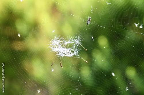 蜘蛛の巣とタンポポの綿毛 Fototapeta