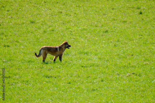 Dog standing in field on sunny day #436143802