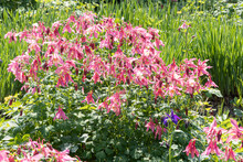 Bouquet Of Pink Columbine Flowers Is On A Green Leaves Background