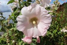 Closeup Of White Hollyhocks (alcea)