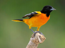 Northern Baltimore Oriole  (Icterus Galbula) Perchedd And Chattering On A Tree Branch On A Cloudy Afternoon.