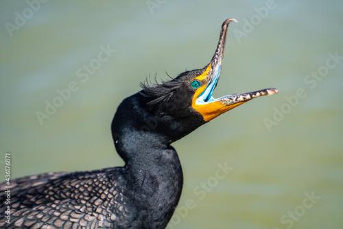 Close up of double-crested cormorant (phalacrocorax auritus) with its beak open Tapéta, Fotótapéta