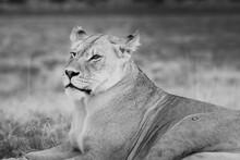 Portrait Of A Kalahari Lioness