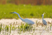 Great Egret And Little Egret In The Swamp