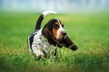 Basset Hound Funny Puppy Pet On A Spring Walk Dog Portrait
