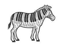 Zebra With Piano Keys Instead Of Stripes Line Art Sketch Engraving Vector Illustration. T-shirt Apparel Print Design. Scratch Board Imitation. Black And White Hand Drawn Image.