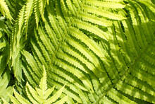 Closeup Of Beautiful Sunny Fern Leaves For Natural Green Texture