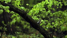 Woodpecker Sitting In A Tree