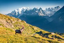 Alpine Ibex (Capra Ibex) On The Mont Blanc (Monte Bianco) Background. Impressive Summer Scene Of Vallon De Berard Nature Reserve, Chamonix Location, Graian Alps, France, Europe.