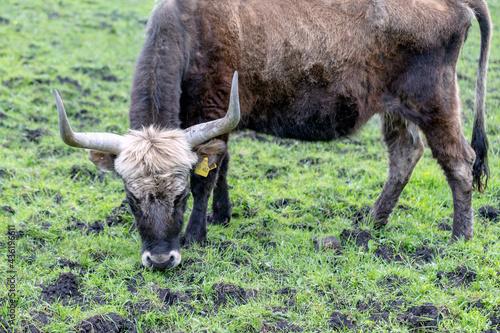 Vászonkép Horns of an aurochs on a meadow in Germany
