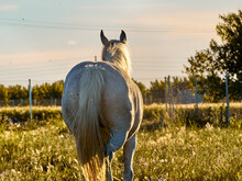 White Horse Walking In A Meadow At Sunset With A Nice Backlighting