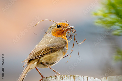 Carta da parati Robin redbreast on a fence holding dry grass in his beak to building a nest