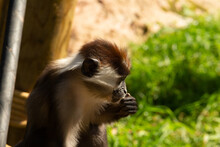 Collared Mangabey (Cercocebus Torquatus) A Young Collared Mangabey Monkey With A Natural Green Background