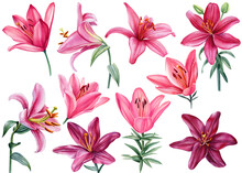 Lilies, Set Of Burgundy And Pink Flowers On Isolated White Background, Watercolor Illustration