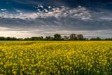 Fototapeta Krajobraz - sielski pejzaż wiejski z polami rzepaku i lasami