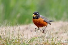 American Robin Running In Grass.