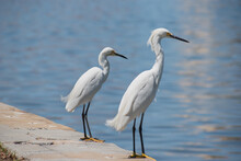 Snowy Egrets Stand On The Water's Edge In Downtown St. Pete, Florida By The Boat Yard And Dock.