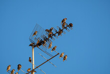 Thousands Of Starling Birds In The Sky, Telephone Poles,