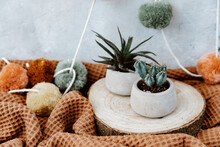 Two Cactus Plants On A Table Indoors