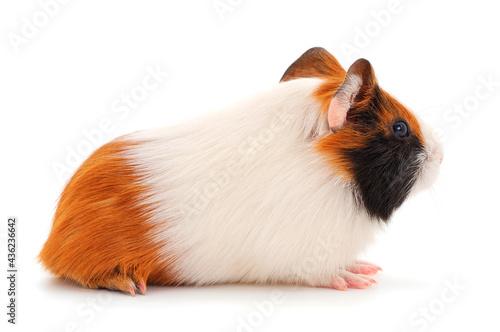 Fotografia Guinea pig isolated.