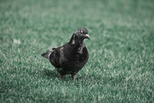 Closeup Shot Of A Spotted Pigeon On A Meadow