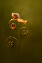 Close-up Of A Snail On A Curled Up Tendril, Indonesia