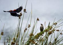 Bird In The Grass Red Winged Black Bird Flying