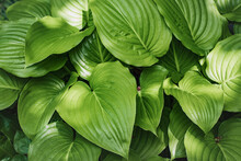 Host Plant With Beautiful Green Leaves On A Sunny Day. Hosta (lat. Hosta) Is A Perennial Herbaceous Plant With Large Leaves In The Garden.