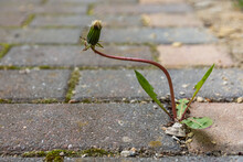 Weed Growing Up Through The Cracks In Brick Paving