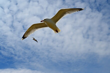 A Seagull With Clouds And Blue Sky As Background