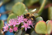 Closeup Shot Of A Bee Pollinating Pink Flowers