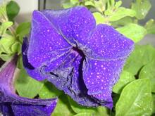 Purple Petunia With Many Dew Drops