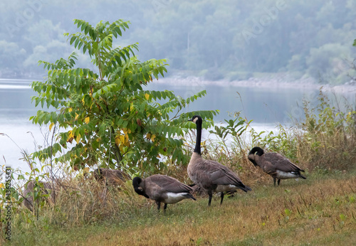 Gaggle of Canada geese standing on high grassy shoreline with trees and bushes o Fototapeta
