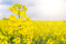 Canola Field. Rapeseed Plant, Colza Rapeseed For Green Energy. Yellow Rape Flower For Healthy Food Oil On Field. Springtime Golden Flowering.