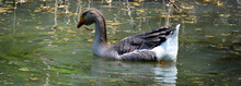 The African Goose Is A Breed Of Goose. The African Goose Breed Most Likely Originated In China, Despite The Name.