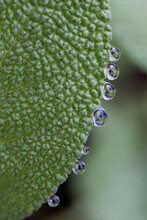 Closeup Of Dew Drops On Sage Leaf