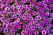 Bright Pink Petunia Flowers For A Background