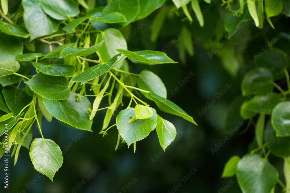 green linden leaves with linden flowers against the backdrop of green nature
