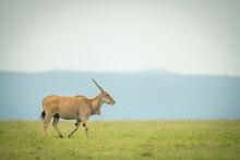 Common Eland Walks Across Grass On Horizon