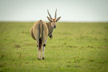 Common Eland Stands In Grass Turning Round