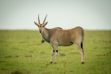 Common Eland Stands On Grass Eyeing Camera