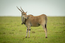 Common Eland Stands On Grass Looking Back