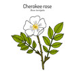 Cherokee rose Rosa laevigata the official state flower of Georgia