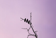 Silhouettes Of Three Crows Against A Purple Sky ..